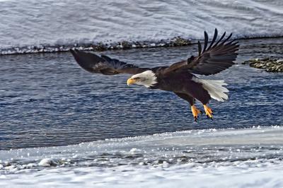 Eagle - Haines Alaska